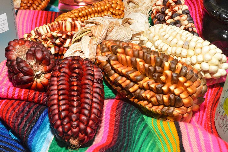 Algunas de las variedades de maíz traídas de Perú