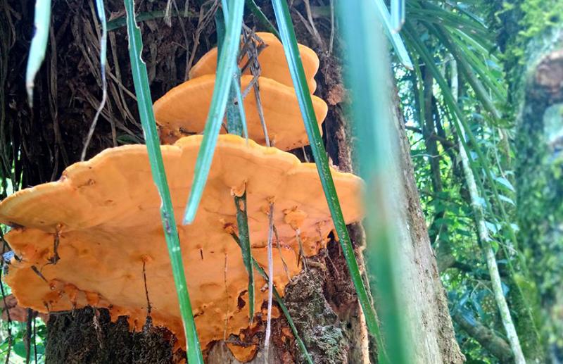 Los hongos que crecen en los tallos de los árboles y que se utilizan para hacer diversos preparados.